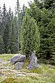 Freiländer Alm Wacholderstrauch auf Felsen.jpg