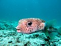 Friendly Puffer (5450294942).jpg
