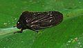 Froghopper (Cercopidae) (8688631788).jpg