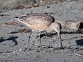 GODWIT, MARBLED (11-23-09) estero bluffs state park, slo co, ca -01 (4129706552).jpg