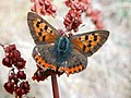 GT first Small Copper upperside.jpg