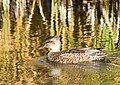 Gadwall on Seedskadee National Wildlife Refuge (23920954628).jpg
