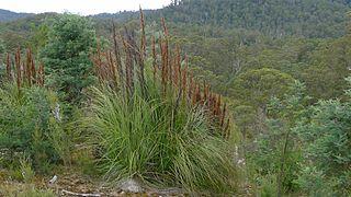 <i>Gahnia grandis</i> Species of plant