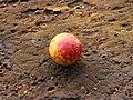 Galappel (Cynips quercusfolii) 01.JPG