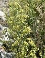 Galium stellatum var eremicum 13.jpg