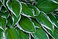 Garden Hosta Leaves Close-up PLT-LV-7.jpg