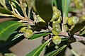 GarigalTristanianeriifolia26763877356 6d43a3aa9e o.jpg