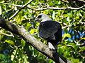 Gavião-pombo-pequeno no Parque Estadual da Fonte Grande - Vitória, Espírito Santo, Brasil.jpg