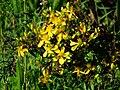 Gelb blühende Pflanze.JPG