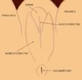 Genitalia embryonis feminei.png