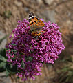 Genoa - butterfly and flower.jpg