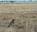 Gepard mit Thomson-Gazelle 1.jpg