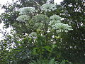 Giant Hogweed (tree background).JPG