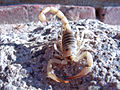 Giant hairy scorpion, Twentynine Palms, Ca 2813 RobbHannawacker.jpg