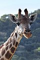 Giraffe (2875299310).jpg