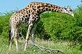 Giraffe (Giraffa camelopardalis) male browsing ... (51200264410).jpg