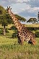 Giraffe - Tarangire National Park - Tanzania-6 (34267573694).jpg