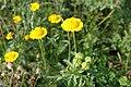 Glebionis segetum inflorescence (02).jpg