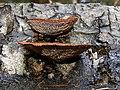 Gloeophyllum sepiarium 2005-04-13 03.jpg