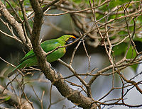 Golden-fronted Leafbird (Chloropsis aurifrons) at Jayanti, Duars, West Bengal W Picture 308.jpg
