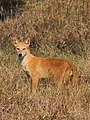 Golden Jackal in brown colour.jpg