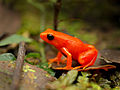 An orange-red frog