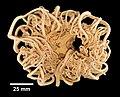 Gorgonocephalus arcticus (YPM IZ 000271.EC).jpg
