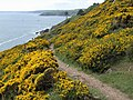Gorse alongside the coast path - geograph.org.uk - 811843.jpg