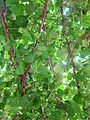 Grapes (14691969230).jpg