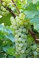 Grappolo di Chardonnay.jpg
