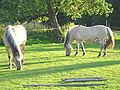 Grasende Fjordpferde.jpg