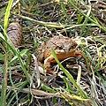 Grasfrosch Tannenzapfen 2.jpg