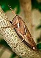 Grasshopper (2664980594).jpg