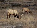 Grazing Elk in Yellowstone National Park.JPG