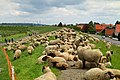 Grazing sheep on levee in Grünendeich, 2.jpg