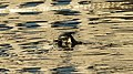 Great Cormorant (Phalacrocorax carbo) Diving - Oslo, Norway 2020-12-23.jpg