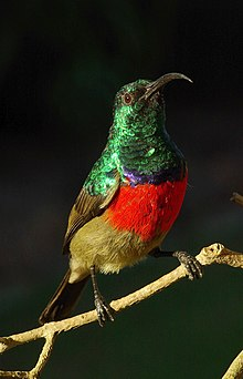 Greater Double-collared sunbird.jpg