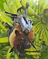 Greater Indian fruit bat @ Kanjirappally 04.jpg