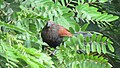 Greater coucal 07.jpg