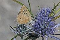 Grecian anomalous blue (Polyommatus aroaniensis) Macedonia.jpg