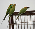 Green Bee-eater (Merops orientalis) with a dragonfly W IMG 2560.jpg