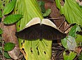 Grey Count Tanaecia lepidea by Raju Kasambe DSCN3072 (4).jpg