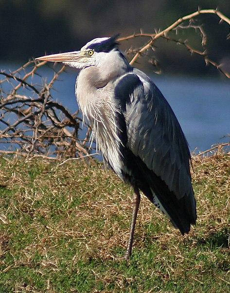 Grey Heron Im IMG 8678