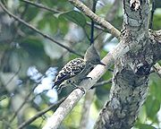 Grey and buff woodpecker - female