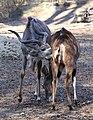 Grosser Kudu Tragelaphus strepsiceros Tierpark Hellabrunn-22.jpg