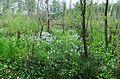 Grosses Torfmoor Birkenwald NW1.jpg