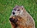 Groundhog prepares to feast on an acorn DSC00558...jpg