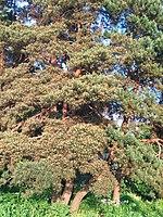 Gryshko Botanical Garden (May 2019) 04.jpg