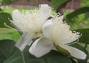 Guava - Apple guava (Psidium guajava) flower