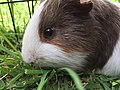 Guinea pig eating grass.jpg